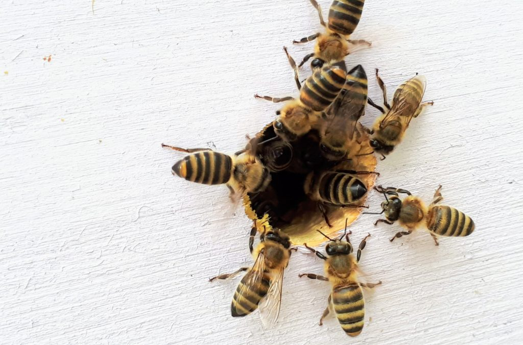 Honey bees crawling into a hole in drywall