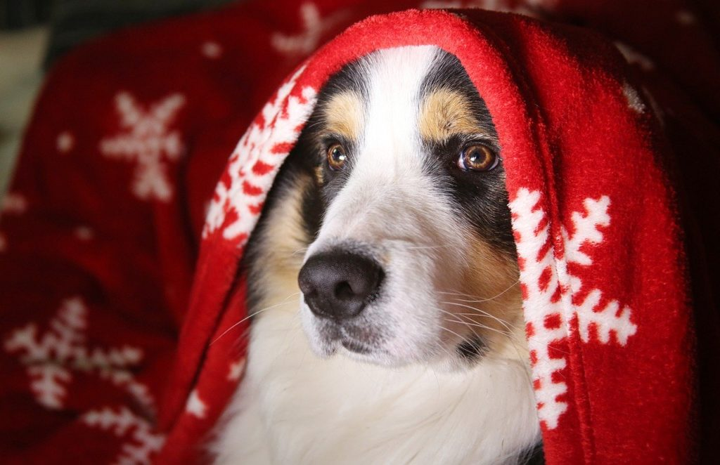 large dog under the cover of a holiday-themed blanket