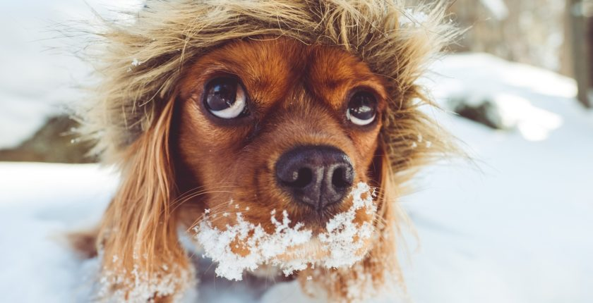 spaniel puppy wearing a winter coat playing in the snow